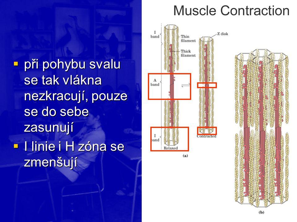 při pohybu svalu se tak vlákna nezkracují, pouze se do sebe zasunují