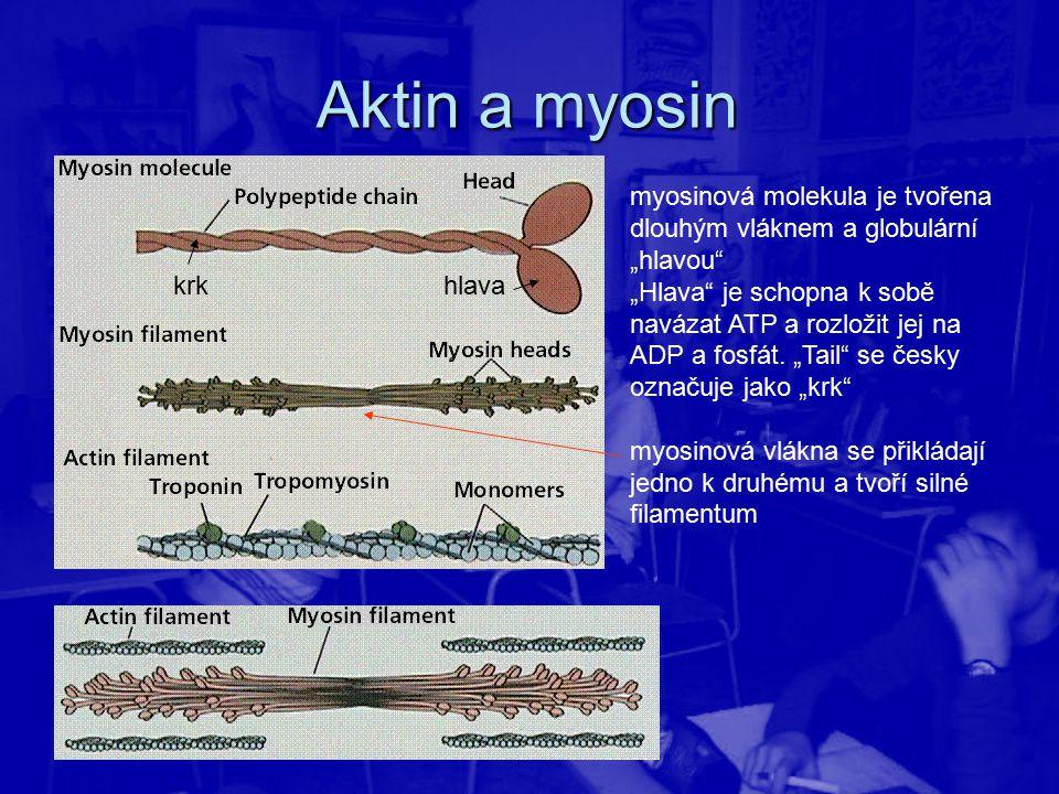 """Aktin a myosin myosinová molekula je tvořena dlouhým vláknem a globulární """"hlavou"""