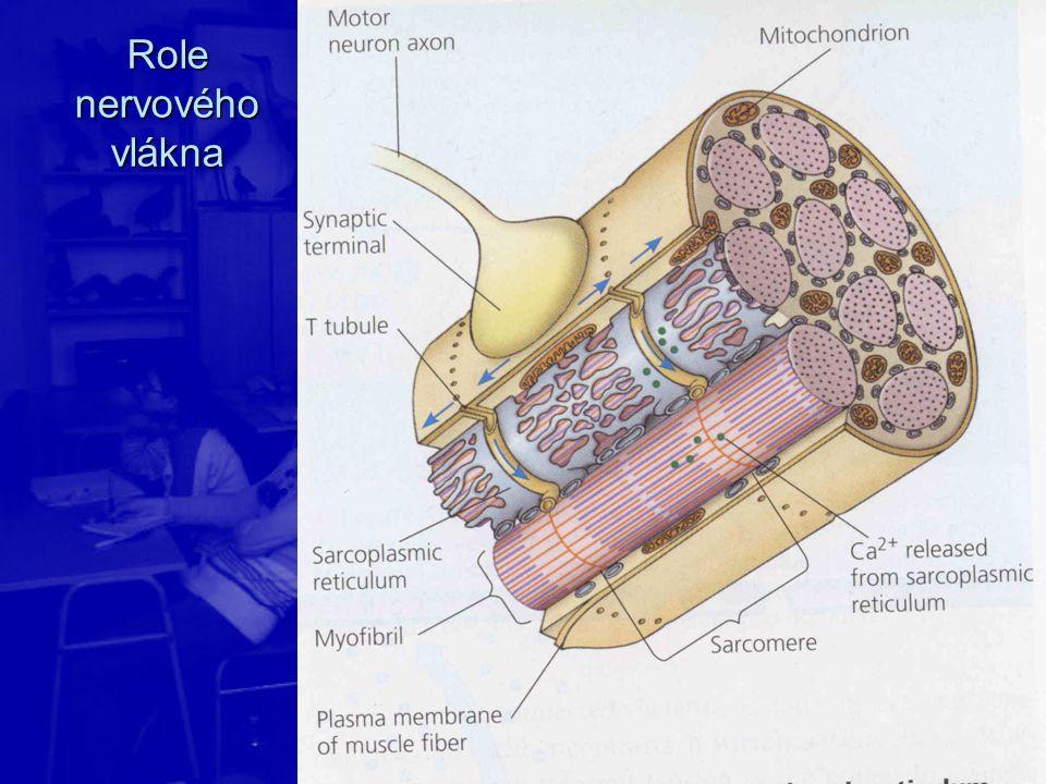 Role nervového vlákna