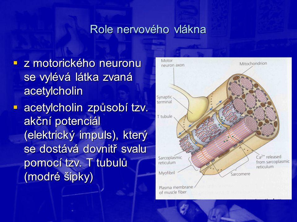 Role nervového vlákna z motorického neuronu se vylévá látka zvaná acetylcholin.