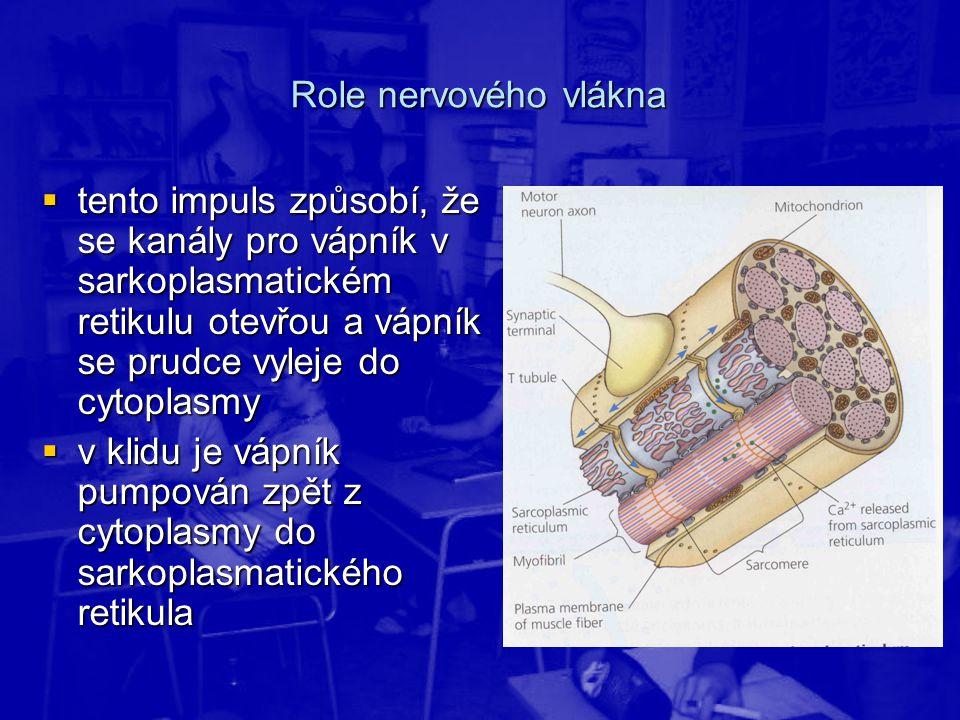 Role nervového vlákna tento impuls způsobí, že se kanály pro vápník v sarkoplasmatickém retikulu otevřou a vápník se prudce vyleje do cytoplasmy.