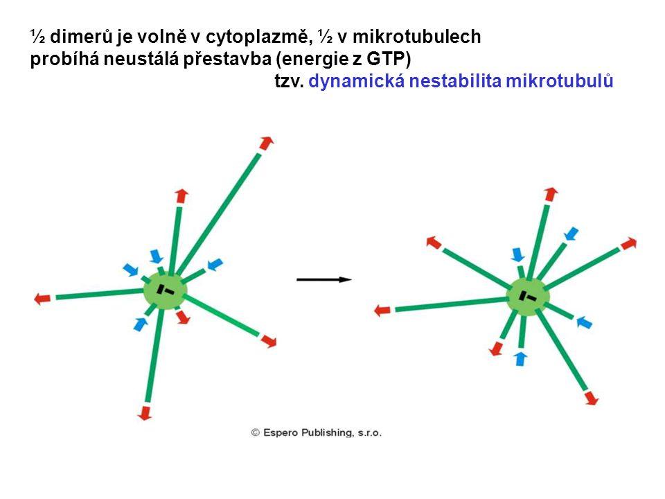 ½ dimerů je volně v cytoplazmě, ½ v mikrotubulech