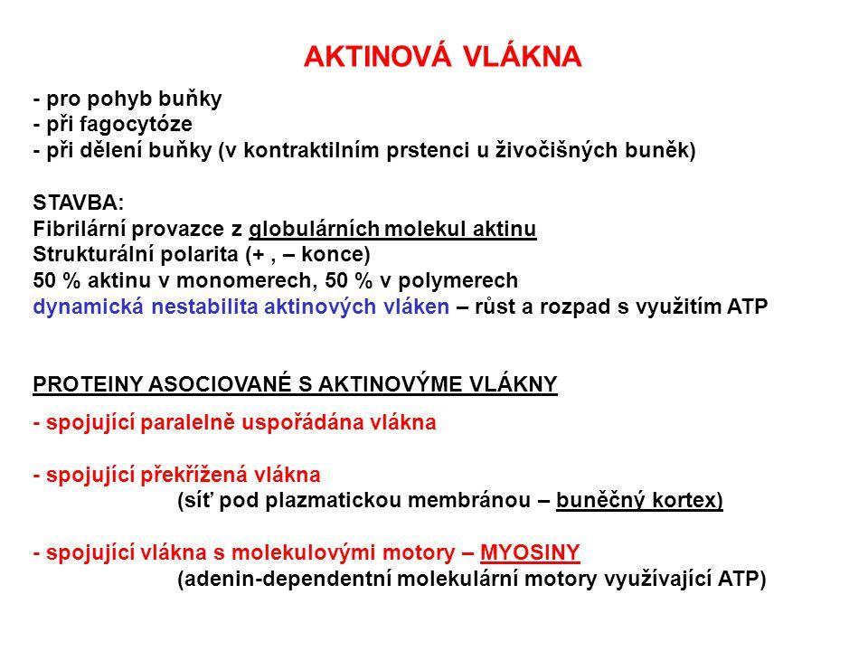 AKTINOVÁ VLÁKNA - pro pohyb buňky. - při fagocytóze. - při dělení buňky (v kontraktilním prstenci u živočišných buněk)