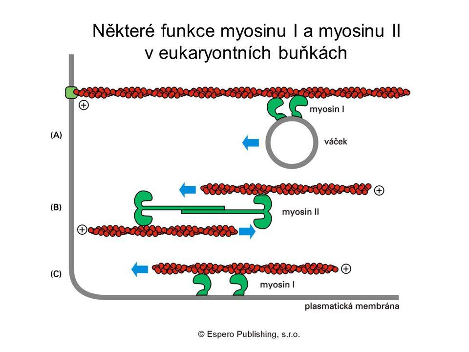 Některé funkce myosinu I a myosinu II v eukaryontních buňkách