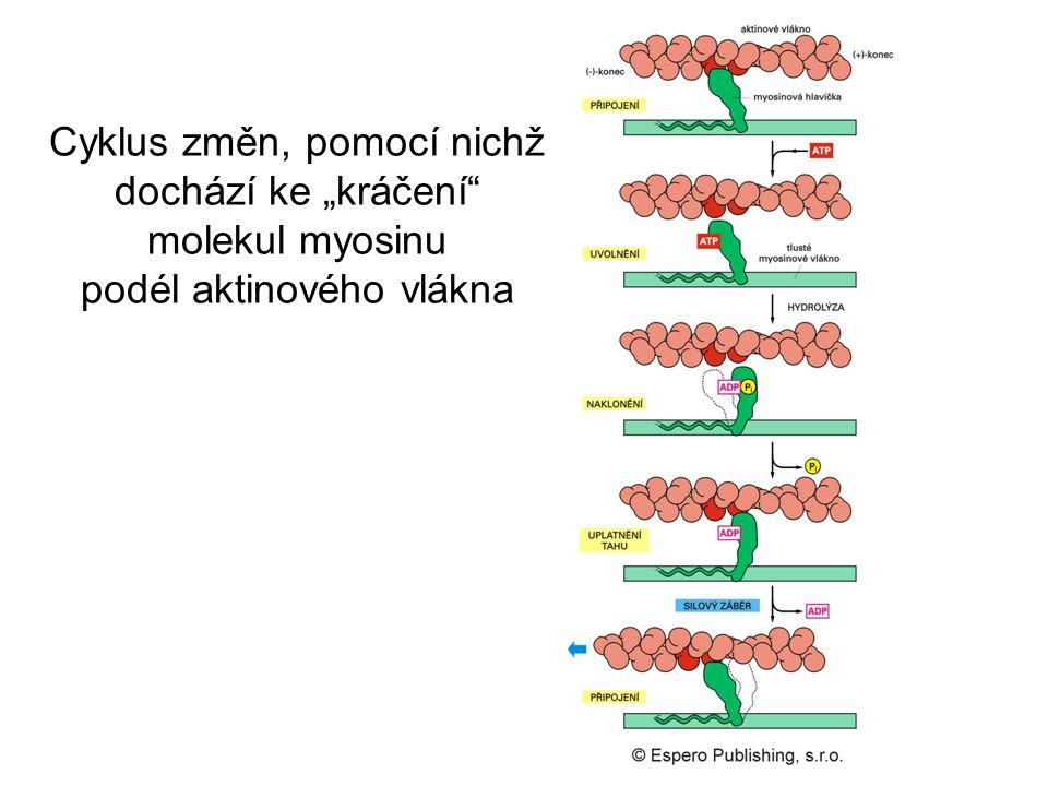 """Cyklus změn, pomocí nichž dochází ke """"kráčení molekul myosinu podél aktinového vlákna"""