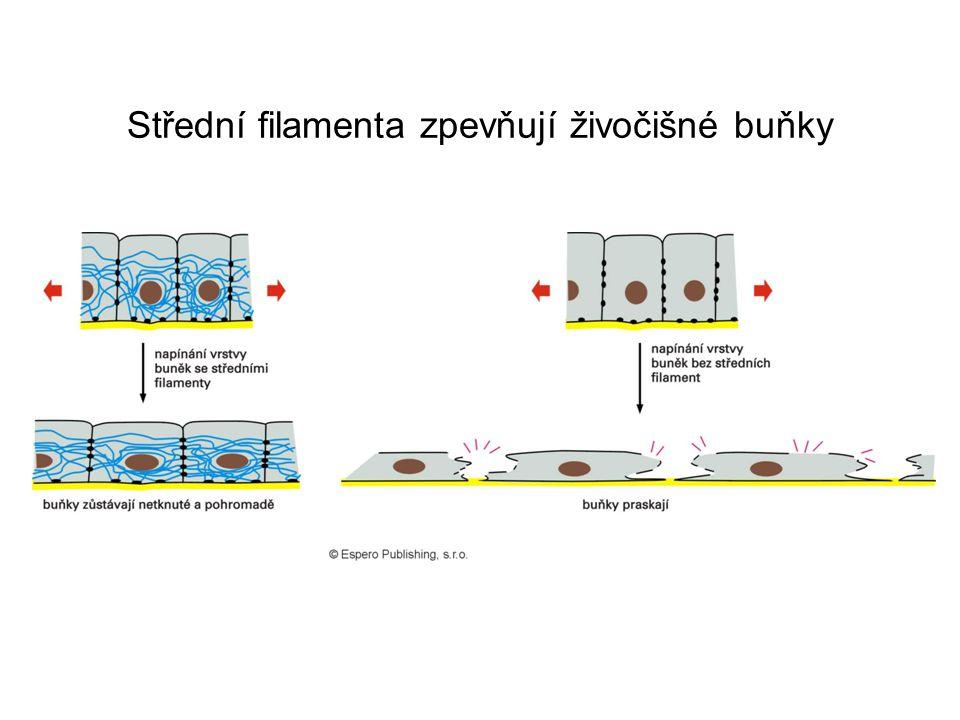 Střední filamenta zpevňují živočišné buňky