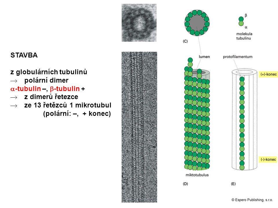 STAVBA z globulárních tubulinů. polární dimer. -tubulin –, -tubulin + z dimerů řetezce. ze 13 řetězců 1 mikrotubul.