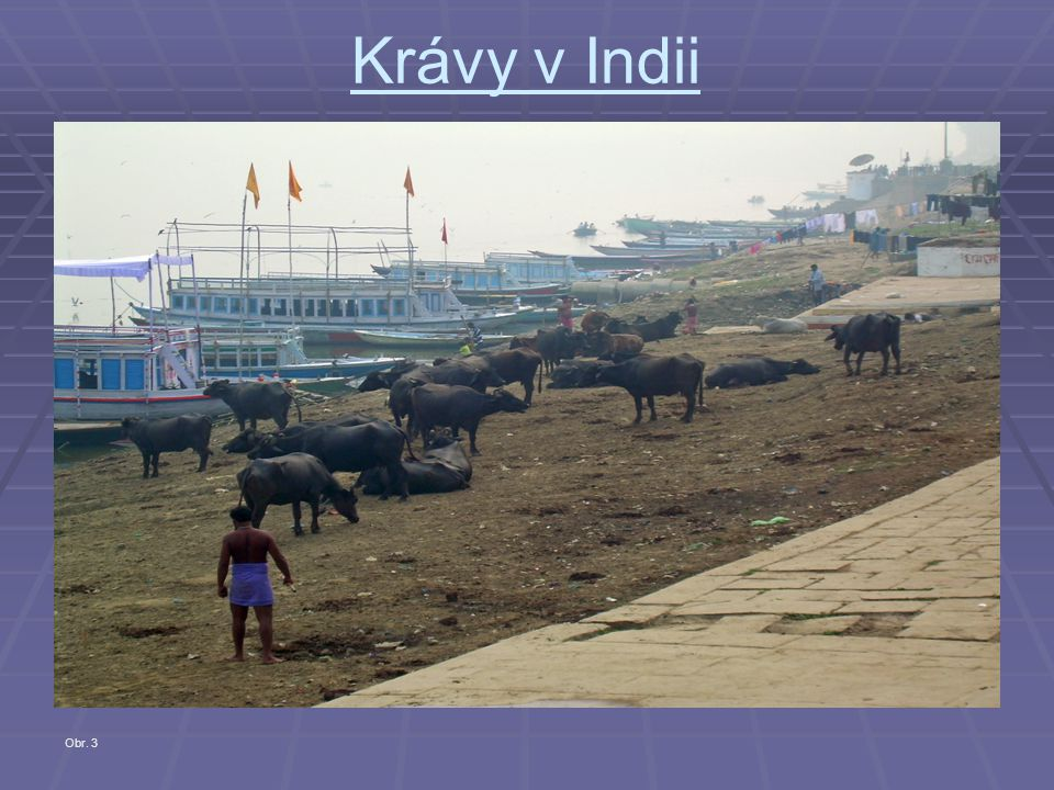 Krávy v Indii Obr. 3