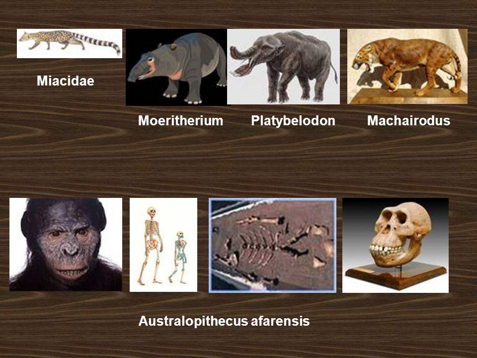 Miacidae Moeritherium Platybelodon Machairodus Australopithecus afarensis