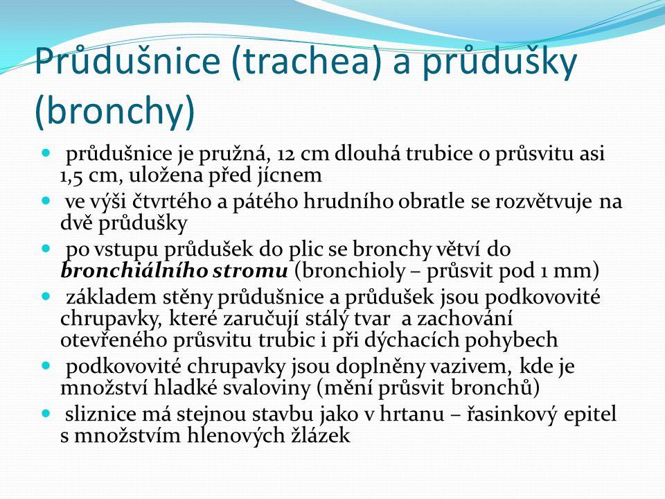 Průdušnice (trachea) a průdušky (bronchy)