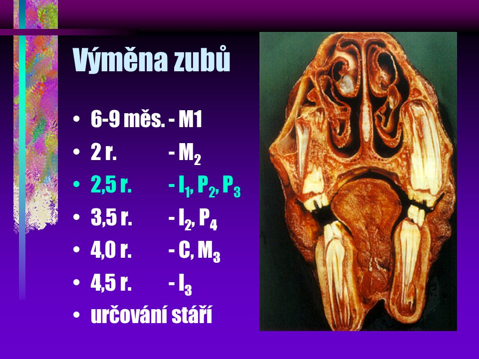 Výměna zubů 6-9 měs. - M1 2 r. - M2 2,5 r. - I1, P2, P3