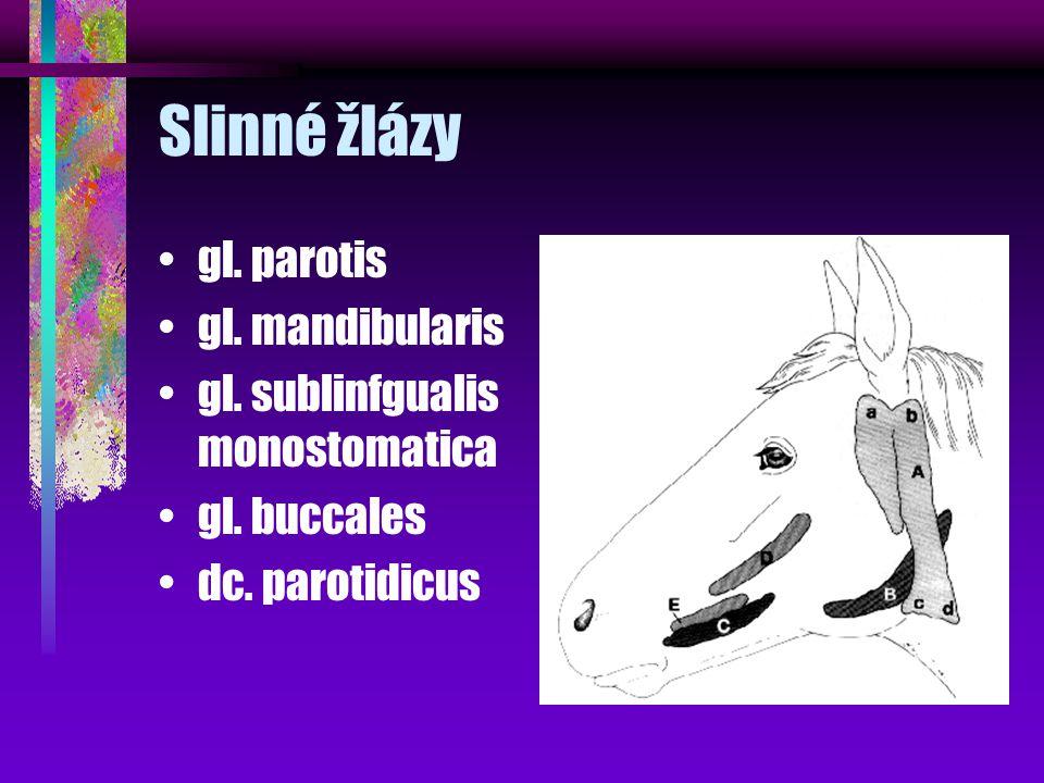 Slinné žlázy gl. parotis gl. mandibularis