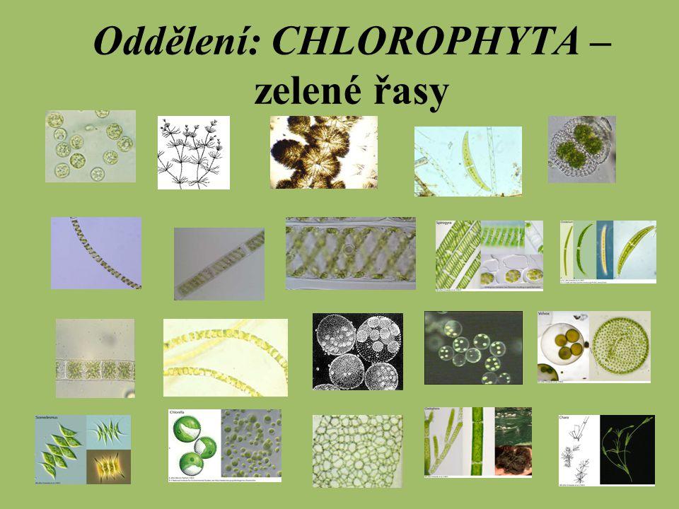 Oddělení: CHLOROPHYTA – zelené řasy