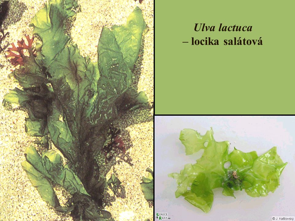 Ulva lactuca – locika salátová