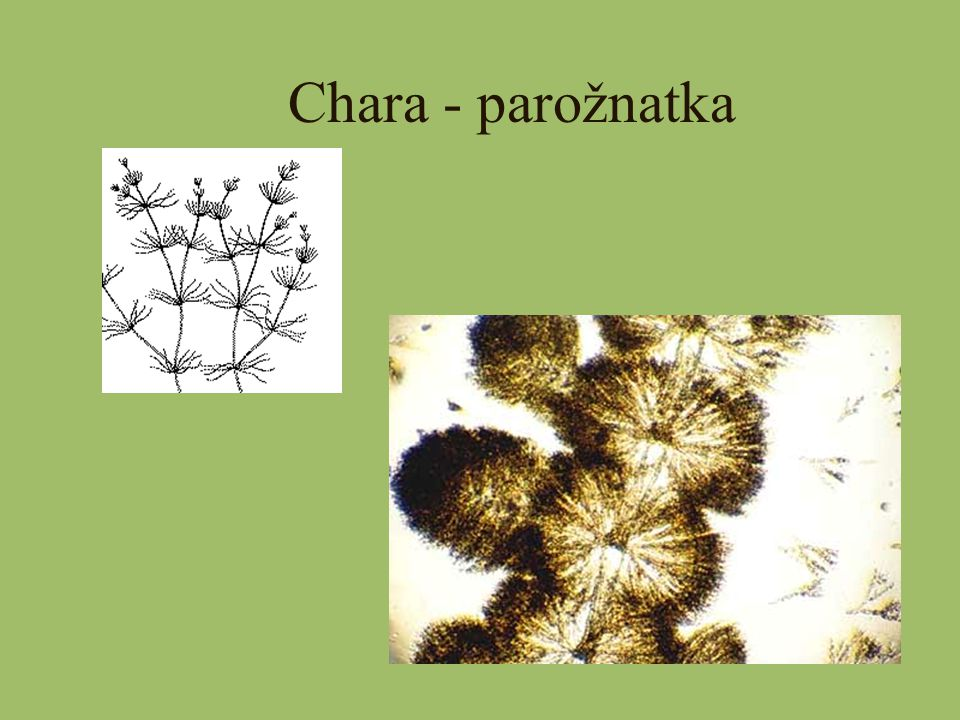 Chara - parožnatka