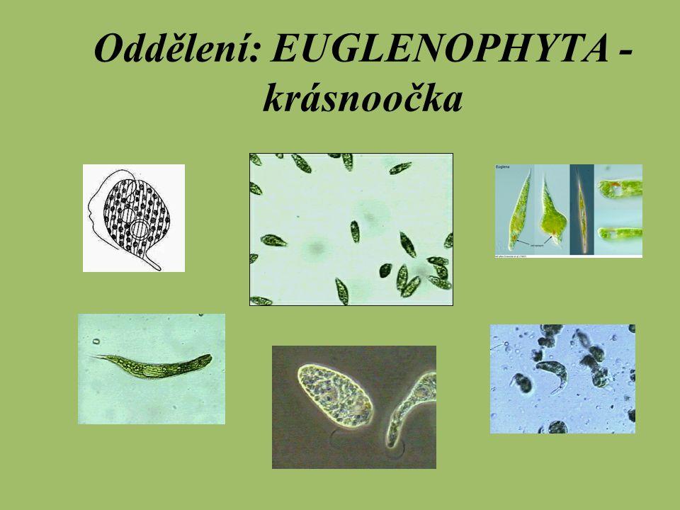 Oddělení: EUGLENOPHYTA - krásnoočka