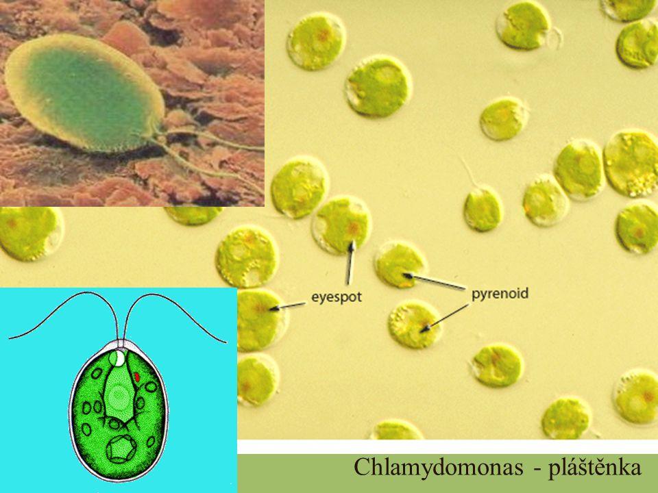 Chlamydomonas - pláštěnka