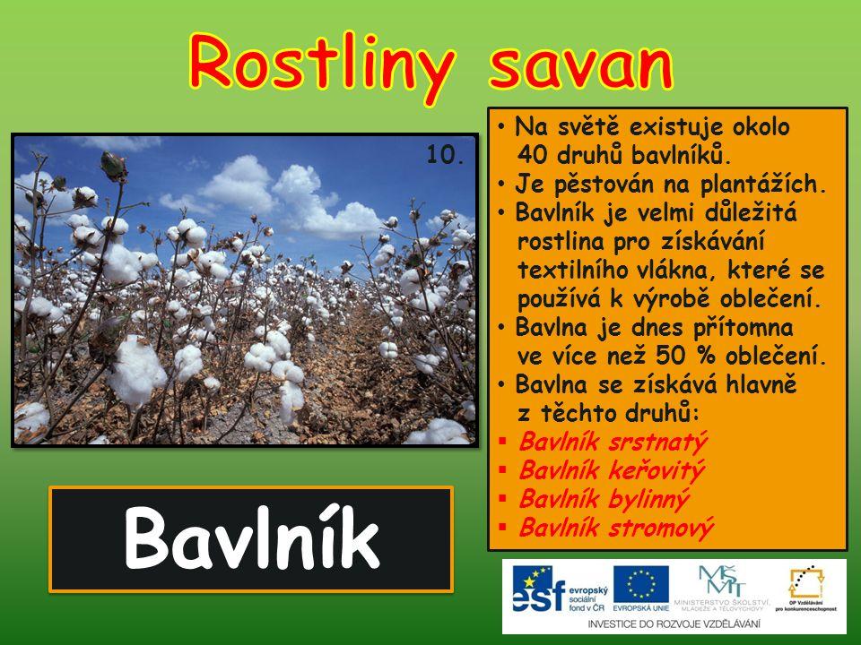 Bavlník Rostliny savan Na světě existuje okolo 40 druhů bavlníků.