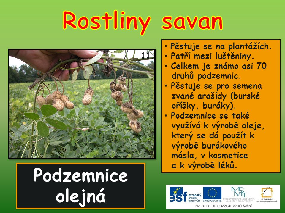 Rostliny savan Podzemnice olejná Patří mezi luštěniny.