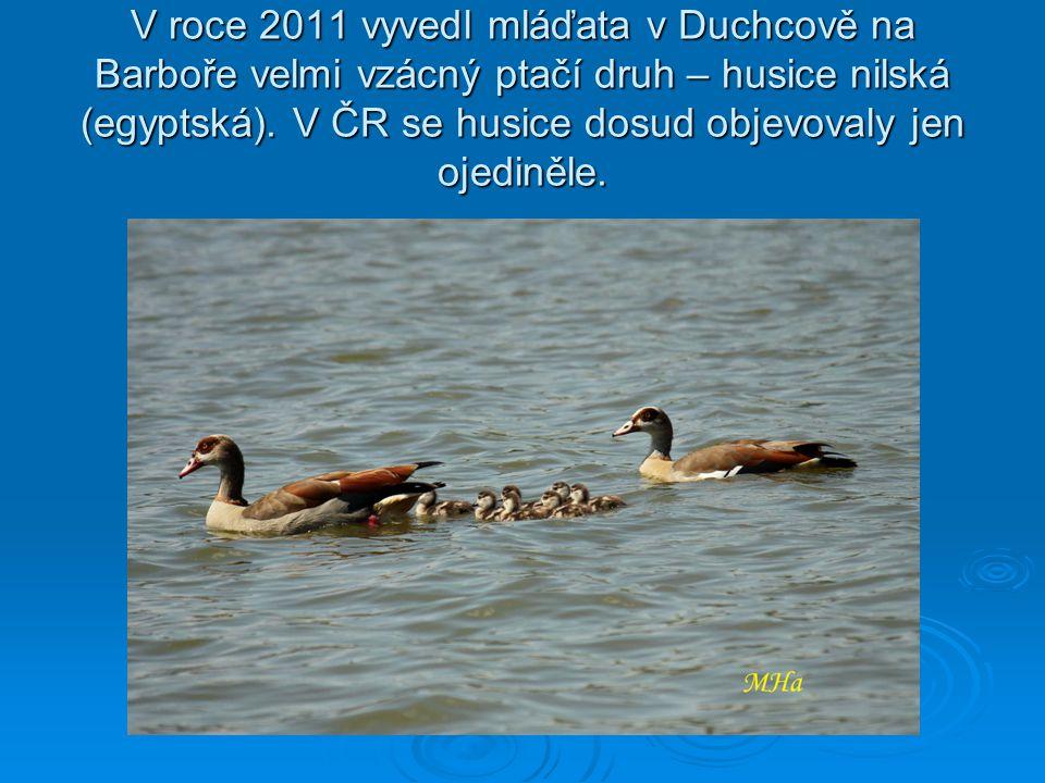 V roce 2011 vyvedl mláďata v Duchcově na Barboře velmi vzácný ptačí druh – husice nilská (egyptská).