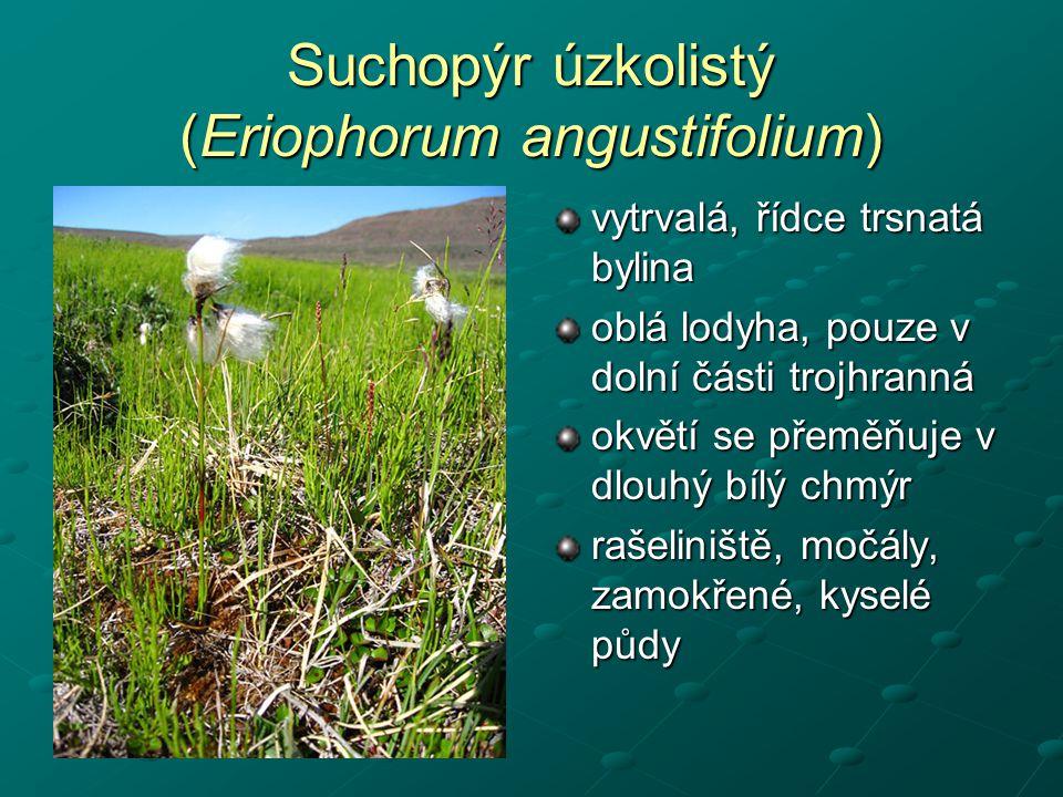 Suchopýr úzkolistý (Eriophorum angustifolium)