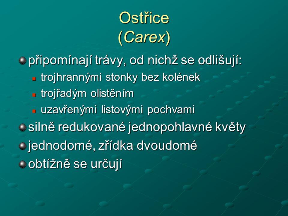 Ostřice (Carex) připomínají trávy, od nichž se odlišují: