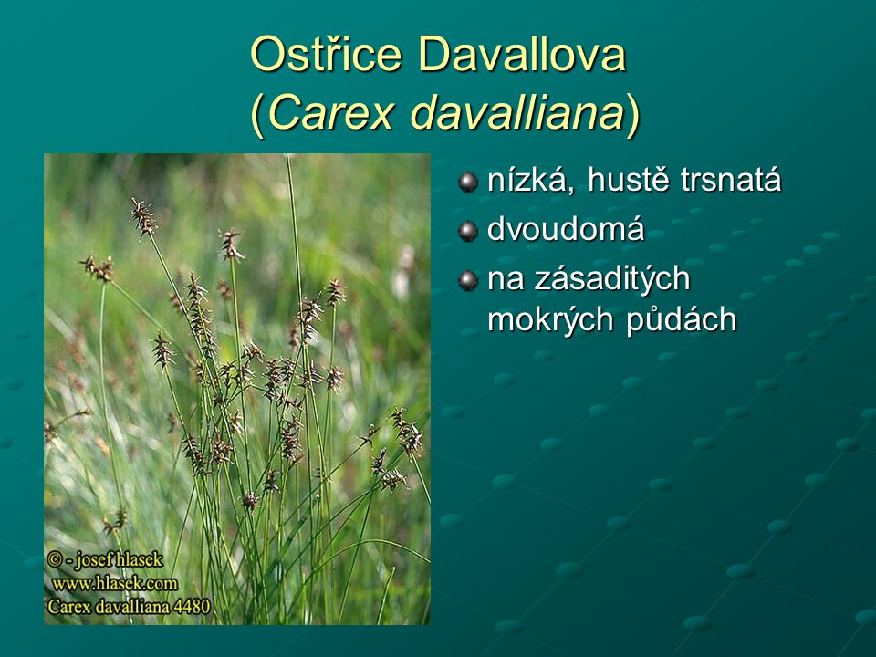 Ostřice Davallova (Carex davalliana)