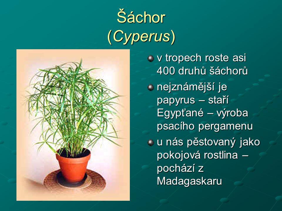 Šáchor (Cyperus) v tropech roste asi 400 druhů šáchorů