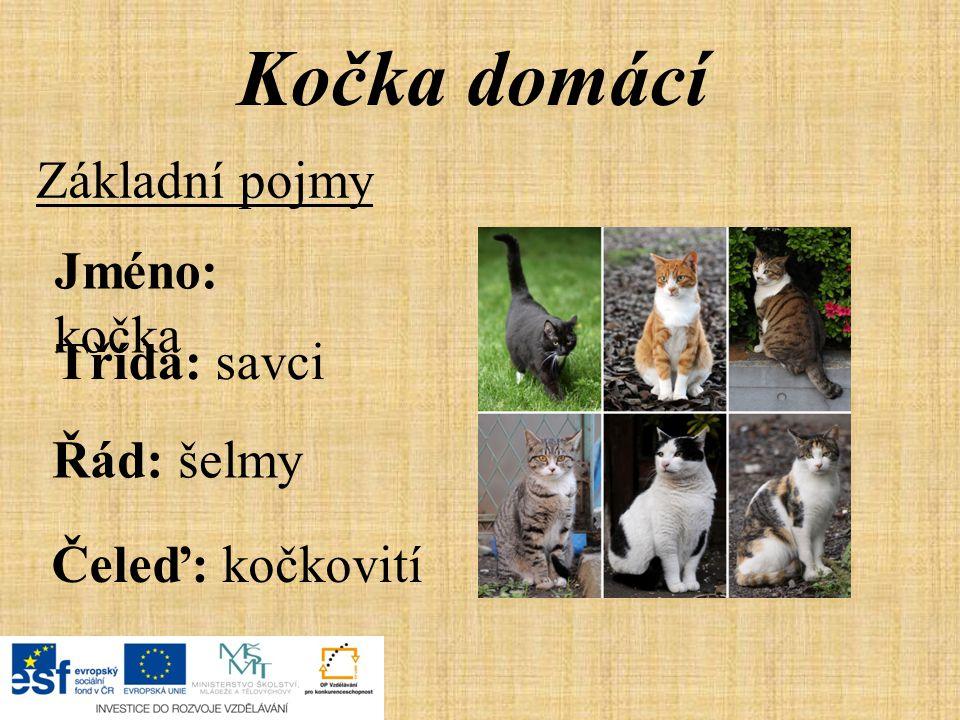Kočka domácí Základní pojmy Jméno: kočka Třída: savci Řád: šelmy