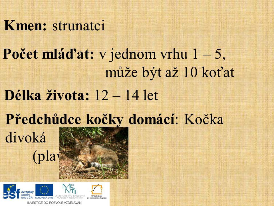 Kmen: strunatci Počet mláďat: v jednom vrhu 1 – 5, může být až 10 koťat. Délka života: 12 – 14 let.