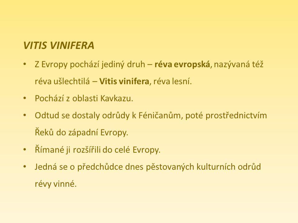 VITIS VINIFERA Z Evropy pochází jediný druh – réva evropská, nazývaná též. réva ušlechtilá – Vitis vinifera, réva lesní.