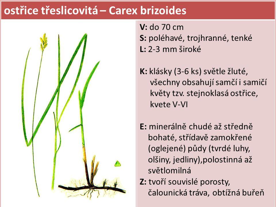 ostřice třeslicovitá – Carex brizoides