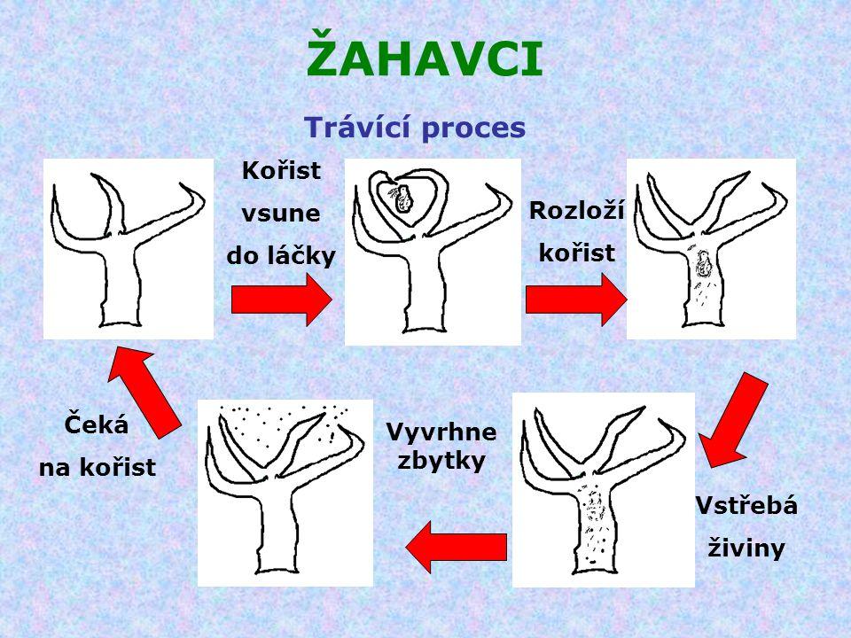 ŽAHAVCI Trávící proces Kořist vsune do láčky Rozloží kořist Čeká
