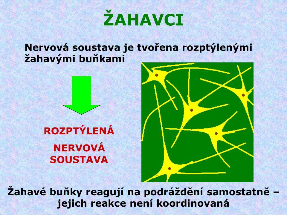 ŽAHAVCI Nervová soustava je tvořena rozptýlenými žahavými buňkami