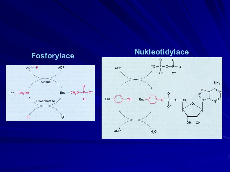 Nukleotidylace Fosforylace