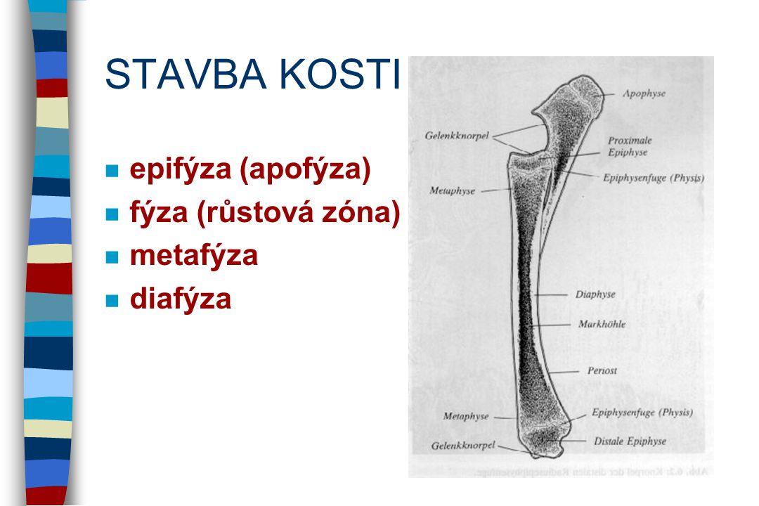 STAVBA KOSTI epifýza (apofýza) fýza (růstová zóna) metafýza diafýza