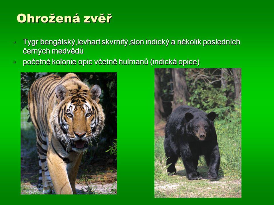 Ohrožená zvěř Tygr bengálský,levhart skvrnitý,slon indický a několik posledních černých medvědů.