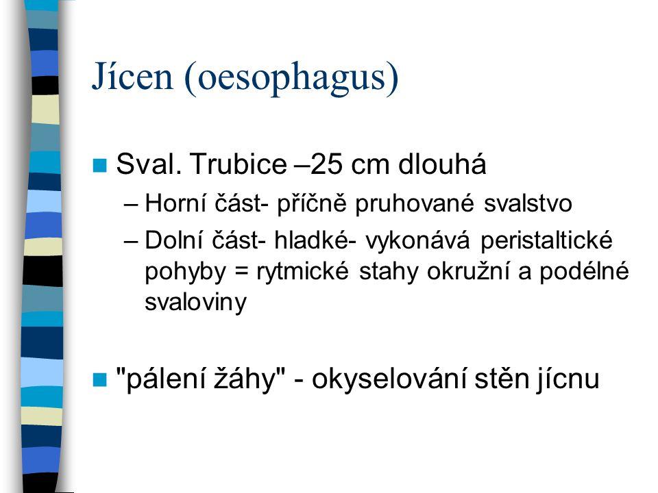 Jícen (oesophagus) Sval. Trubice –25 cm dlouhá