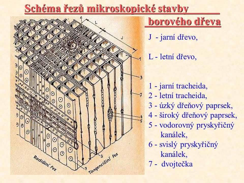Schéma řezů mikroskopické stavby borového dřeva