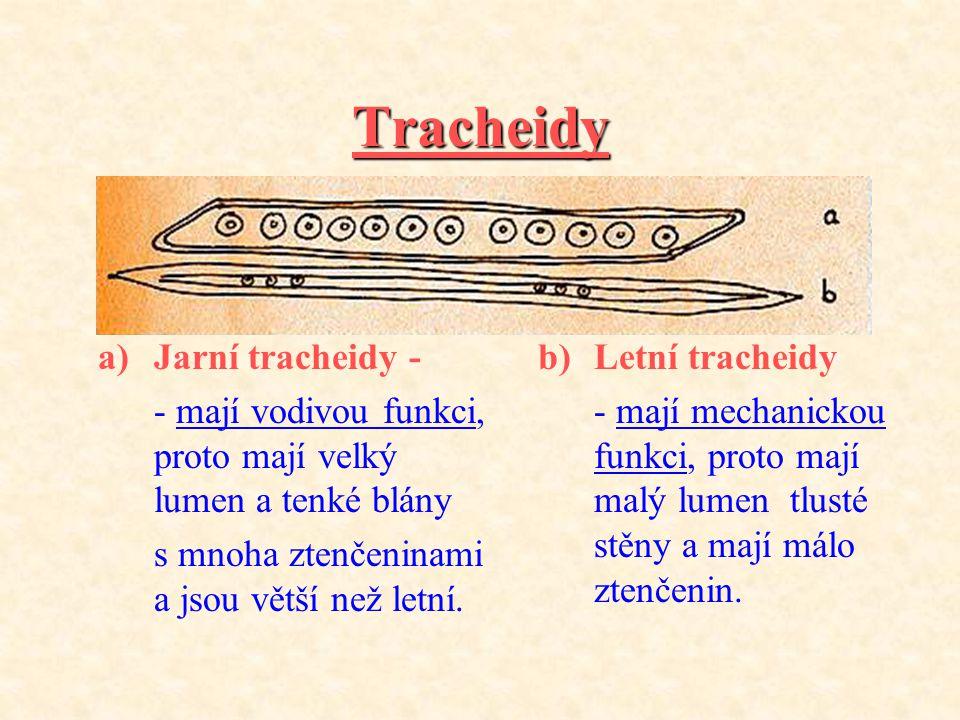 Tracheidy Jarní tracheidy -