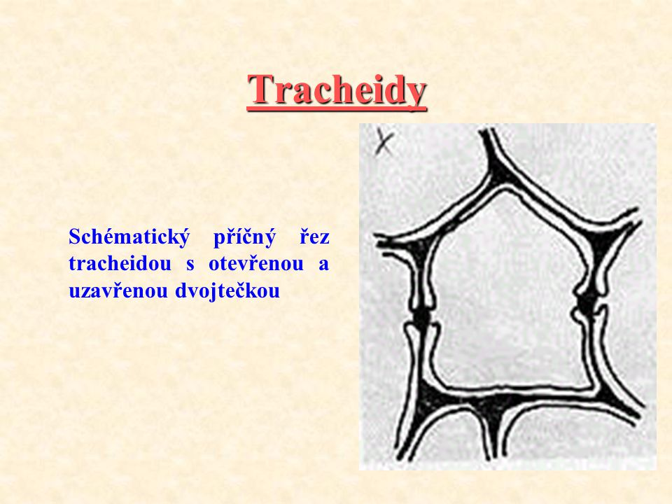 Tracheidy Schématický příčný řez tracheidou s otevřenou a uzavřenou dvojtečkou