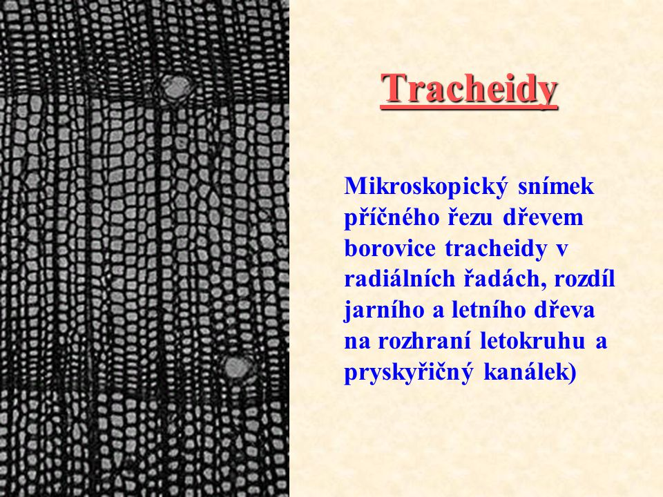 Tracheidy