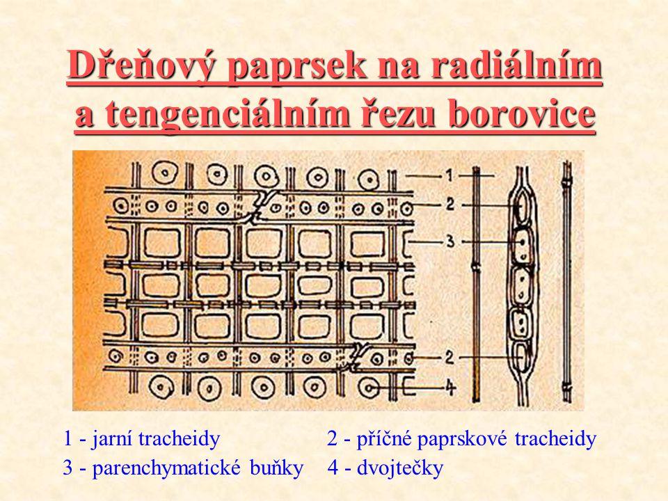 Dřeňový paprsek na radiálním a tengenciálním řezu borovice