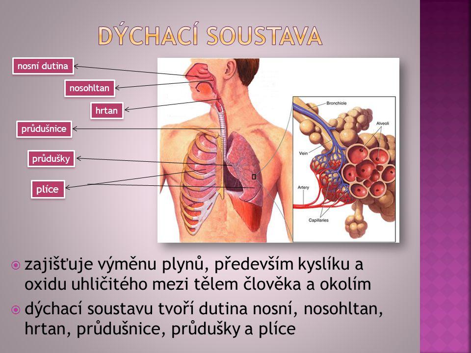 dýchací soustava nosní dutina. nosohltan. hrtan. průdušnice. průdušky. plíce.