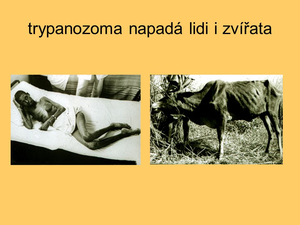 trypanozoma napadá lidi i zvířata