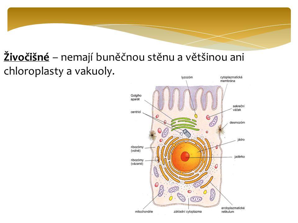 Živočišné – nemají buněčnou stěnu a většinou ani chloroplasty a vakuoly.