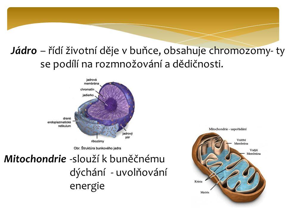 Jádro – řídí životní děje v buňce, obsahuje chromozomy- ty se podílí na rozmnožování a dědičnosti. Mitochondrie.