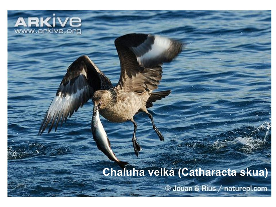 Chaluha velká (Catharacta skua)