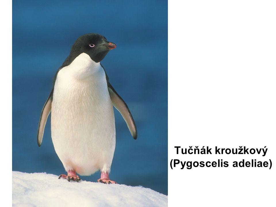 Tučňák kroužkový (Pygoscelis adeliae)