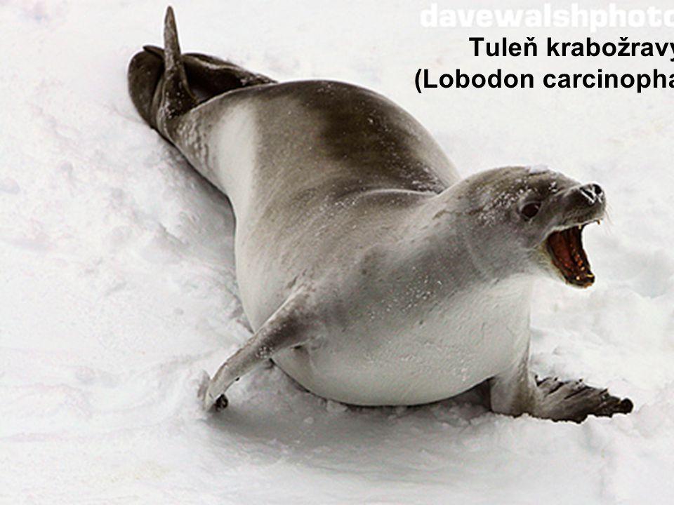 Tuleň krabožravý (Lobodon carcinophagus)